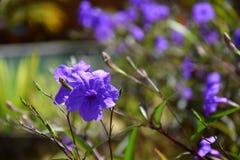 Close-up van purpere blauwe petunia op een heldere en zonnige dag stock afbeeldingen