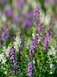 Close-up van purpere en witte bloem; Thais stijlvergeet-mij-nietje stock foto