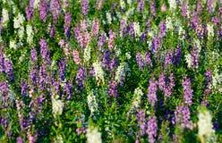 Close-up van purpere en witte bloem; Thais stijlvergeet-mij-nietje stock foto's