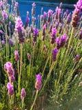 Close-up van purpere lavendelbloemen stock fotografie