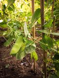 Close-up van rijpe verse en groene Sneeuwerwten klaar voor oogst die op het planten van stokken in een natuurlijke inlandse svege royalty-vrije stock foto