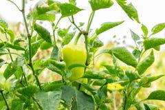 Close-up van rijpende peper in de organische peperaanplanting Verse Gele en Rode zoete Groene paprikainstallaties met Selectieve  royalty-vrije stock afbeelding