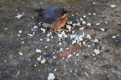 Close-up van Robin Redbreast Eating Bread Crumbs royalty-vrije stock fotografie