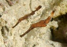 Close-up van Robuust spook twee die pipefish over koralen van Bali zwemmen royalty-vrije stock foto