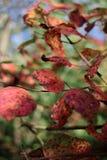 Close-up van rode bladeren met grungetextuur op vage groene installatie Royalty-vrije Stock Afbeeldingen