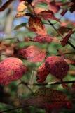 Close-up van rode bladeren met grungetextuur op vage groene installatie Stock Fotografie