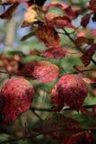 Close-up van rode bladeren met grungetextuur op vage groene installatie Stock Foto's