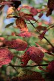 Close-up van rode bladeren met grungetextuur op vage groene installatie Royalty-vrije Stock Foto
