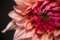 Close-up van rode bloem Stock Afbeelding