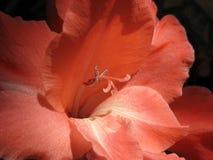 Close-up van rode gladiolen Royalty-vrije Stock Afbeelding