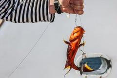 Close-up van rode koraaltandbaars in de handen van een visser stock afbeelding