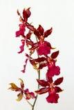 Close-up van rode orchideeën Royalty-vrije Stock Afbeeldingen