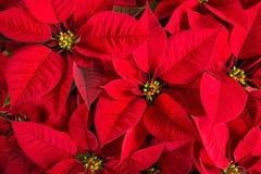 Close-up van rode poinsettiabloemen Stock Foto's