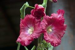 Close-up van rode stokroosbloemen in de mae fah luang tuin royalty-vrije stock afbeeldingen