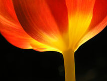 Close-up van rode tulp stock foto