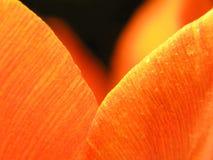 Close-up van rode tulp Stock Foto's