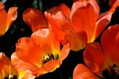 Close-up van rode tulpen tegen donkere achtergrond op een zonnige de lentedag stock fotografie