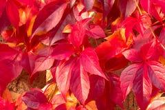 Close-up van rode vijf-leaved klimop & x28; Virginia creeper& x29; gebladerte op de tak Stock Foto
