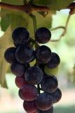 Close-up van rode wijndruiven in de wijngaard stock foto