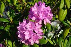 Close-up van rododendronbloemen Royalty-vrije Stock Afbeeldingen