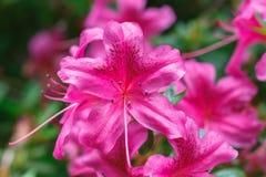 Close-up van Rododendronbloemen in Isabella Plantation, een woodla Stock Afbeeldingen