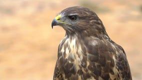 Close-up van rood-De steel verwijderde havik De vogel van bidt Langzaam motieschot stock video
