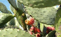 Close-up van rood fruit en groene stootkussens van vijgcactusboom, Vijgencactus stock foto's