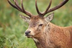 Close-up van rood hertenmannetje tijdens bronst royalty-vrije stock foto's