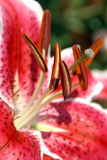 Close-up van rood-Witte Lily Flower Stock Fotografie