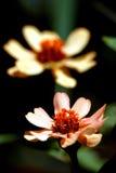 Close-up van roze bloem stock afbeeldingen