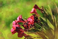 Close-up van roze bloemen bij zonsondergang Bokehgevolgen Eiland Krete stock afbeelding
