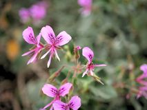 Close-up van roze bloemen met groene bladeren in vlindertuin in santa Barbara Californië Macrolens met bokeh voor Webbanners a Royalty-vrije Stock Fotografie