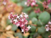 Close-up van roze bloemen met groene bladeren in vlindertuin in santa Barbara Californië Macrolens met bokeh voor Webbanners a Royalty-vrije Stock Afbeelding