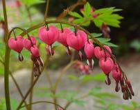Close-up van roze bloesems van een aftappend hart [Lamprocapnos-spectabilis] Stock Fotografie