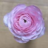 Close-up van roze boterbloemenbloem op vage achtergrond Royalty-vrije Stock Foto's
