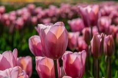 Close-up van roze en rode tulpen in volledige bloei Stock Foto's