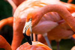 Close-up van roze flamingo Stock Fotografie