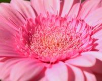 Close-up van roze gerberabloem Royalty-vrije Stock Afbeeldingen