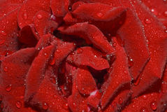 Close-up van roze knop met waterdruppeltjes stock foto
