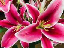 Close-up van Roze Lily Flowers Blooming Outdoors stock afbeeldingen