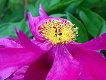 Close-up van roze Pioen met gele meeldraad Royalty-vrije Stock Foto's