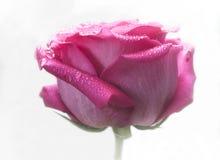 Close-up van roze roze bloesem Royalty-vrije Stock Foto's