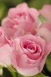 Close-up van roze rozen. Royalty-vrije Stock Afbeelding