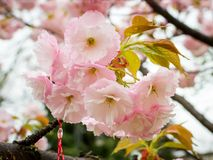 Close-up van roze sakura breekbare bloeiwijze met regendalingen op een de lentedag Kersentak met bloemen en kleine bladeren nave royalty-vrije stock fotografie