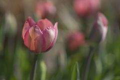 Close-up van roze tulpenbloem Stock Foto