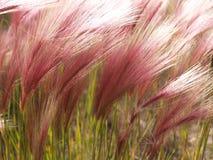 Close-up van roze vossestaartgras op Grondgebied Yukon. Stock Foto's