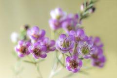Close-up van roze waxflower Stock Fotografie