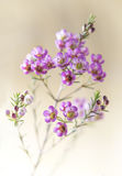 Close-up van roze waxflowerclose-up Royalty-vrije Stock Foto