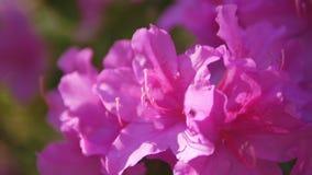 Close-up van roze wilde rozemarijnbloemen stock videobeelden