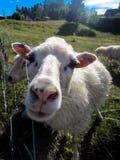 Close-up van schapen Royalty-vrije Stock Fotografie